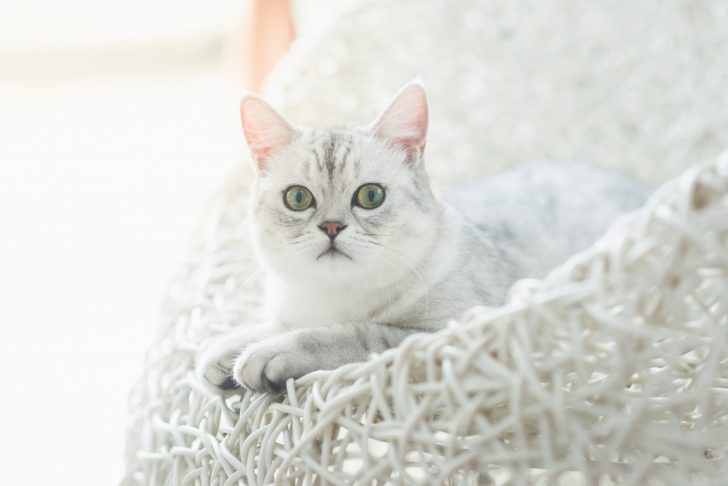 Cute American Shorthair kitten lying and looking on white basket