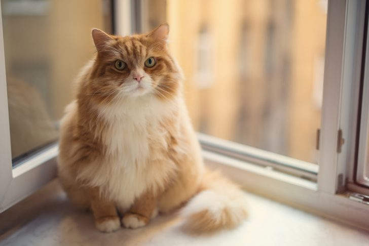 Fat ginger cat