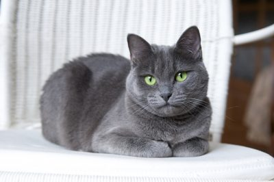A beautiful Russian Blue cat on a white wicker armchair.