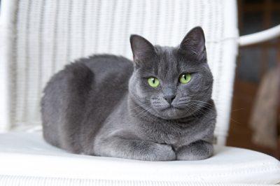 A beautiful Russian Blue cat on a white wicker armchair.