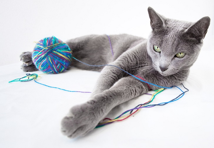 Portrait of a Russian Blue Cat, with a ball of wool