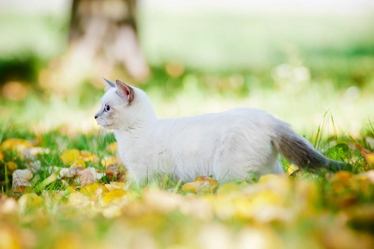 munchkin kitten walking outdoors