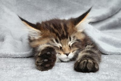 Maine Coon kitten sleep under blanket