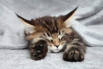 Maine Coon kitten sleep under blanket