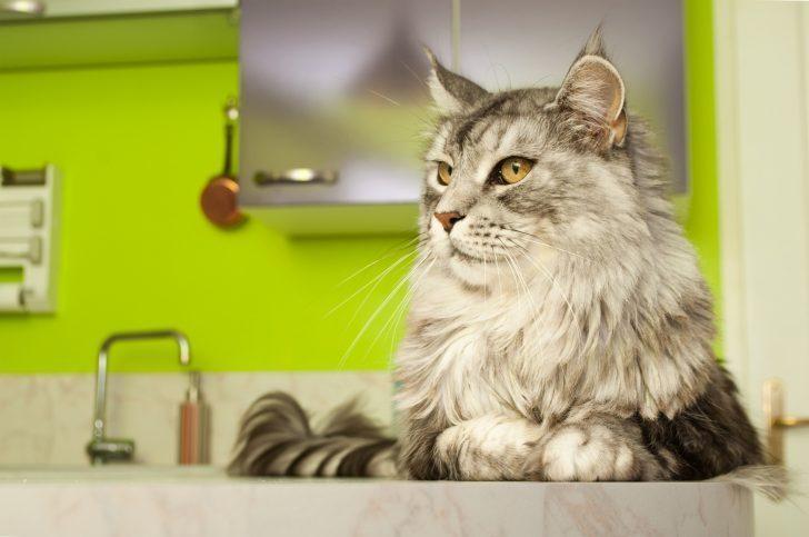 chat de race maine coon