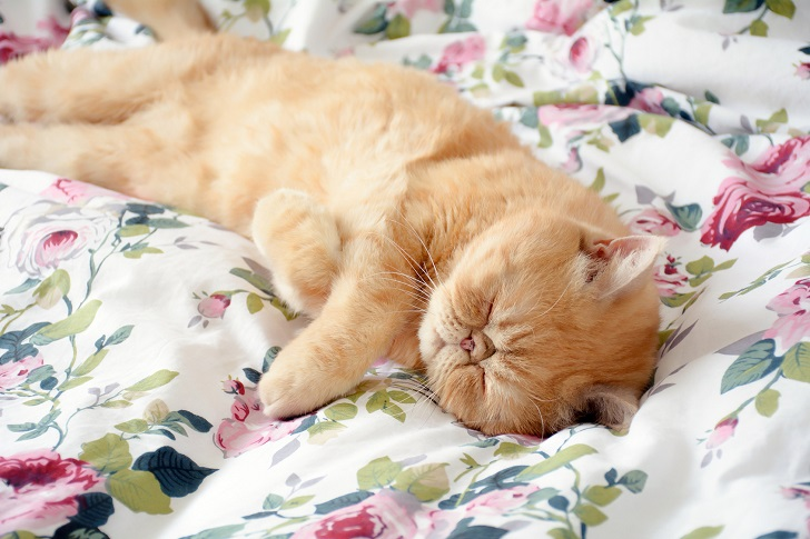 Cat sleeping on bed. Funny exotic ginger cat