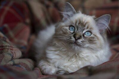 Seal Tabby Ragdoll Kitten