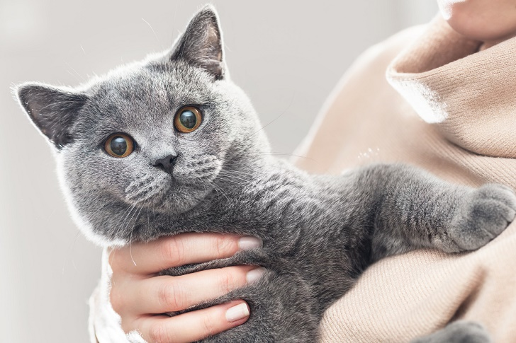 Cute kitten hold in hands. The British Shorthair. Looking at the camera